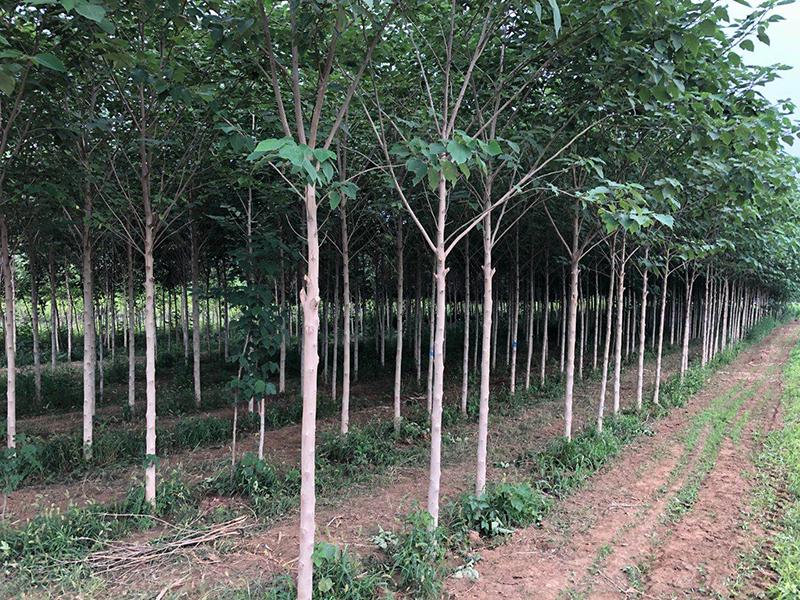 构树的主要价值有哪些?