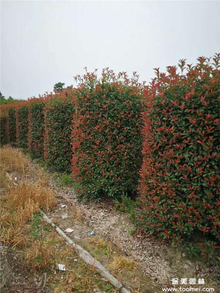 红叶石楠柱